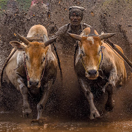 The Racing Cows by Mediia Hendriko - News & Events Sports ( news, event, rodeo, mood, action, cow, sport, culture )