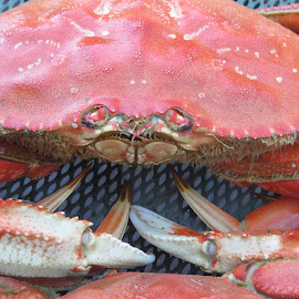 Oregon Dungeness Crab by Howard Skaggs - Animals Sea Creatures