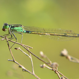 Damsel...4 by Sachin Jain - Novices Only Macro ( pashan lake, damselfly, pune, odonata, insects )