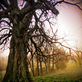 Grandfather Tree in Early Morning Fog by Julie Dant - Nature Up Close Trees & Bushes ( nature, tree, gnarled trees, fog, early morning,  )