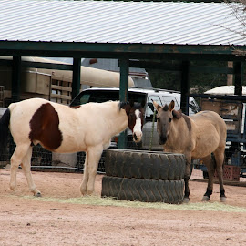 horse and mule by Debbie Theobald - Animals Horses ( animals, horses, farms, unedited, mules,  )