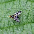Selderijvlieg (Euleia heraclei)
