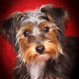 Here's Looking at Ya! by Shakenimages Ken - Animals - Dogs Portraits