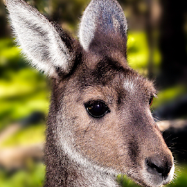 Kangaroo by Craig Eccles - Animals Other ( joey, animals, kangaroo, jumping., australia, marsupial, jump, animal )