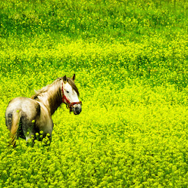 by Hisham Elhuni - Animals Horses