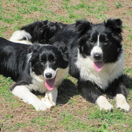 Collie babies by Lynn Bailey - Animals - Dogs Portraits