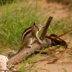SQUIRREL by Monish Kumar - Animals Other Mammals (  )
