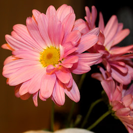 Pink Daisy by Christie Henderson - Novices Only Flowers & Plants ( daisy )