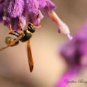 (Female) Potter Wasp