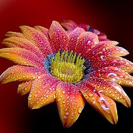 Beautiful colors by Biljana Nikolic - Flowers Single Flower
