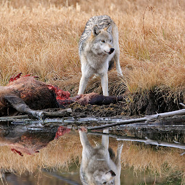 Alpha female meal time reflection by Michael Waller - Animals Other Mammals ( yellowstone, wolf,  )