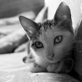 Watching by Goran Matejin - Animals - Cats Kittens ( kitten, cat, white, close up, black, portrait )