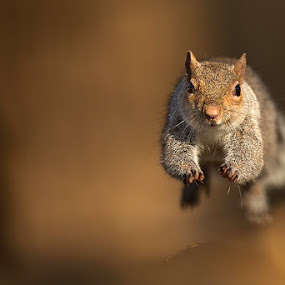 Flying squirrel by Stefano Ronchi - Animals Other Mammals