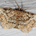 Pine Measuringworm Moth