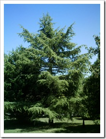 fir tree