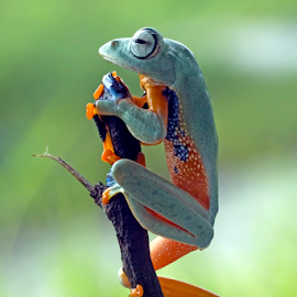 See the weather situation by Kurito Afsheen - Animals Amphibians ( canon, animals, macro, indonesia, tree frog, frogs, amphibians,  )