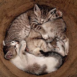 Slumberland by Hussin Mohd Nor - Animals - Cats Kittens ( cats, sleeping, kittens )