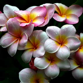 Pink Frangipani 50 by Mark Zouroudis - Flowers Flowers in the Wild (  )