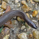 Rough earthsnake