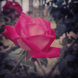 Red Rose  by Havneet Singh - Instagram & Mobile Android