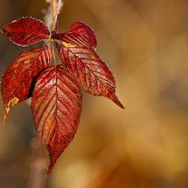 Autumn leaves by Dan Ferrin - Nature Up Close Trees & Bushes ( macro, nature, tree, autumn, leaves, close up )