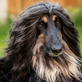 Afghan Hound Portrait by Andy Kay - Animals - Dogs Portraits ( sight, aghan, hound, dog, portrait, tan, black )