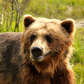 Grizzley Bear by Jason Kiefer - Animals Other Mammals