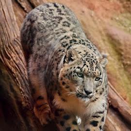 Snow leopard by Robert Benčík - Animals Lions, Tigers & Big Cats