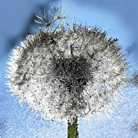 Maslacak by Tihomir Beller - Nature Up Close Other plants ( nature, sjeme, plpant, cvijet )