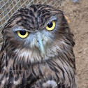 The brown/ceylon fish owl.