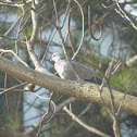 (Eurasian) Collared Dove