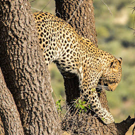 Leopard on the hunt by Warren Hanna - Novices Only Wildlife ( #leopard )