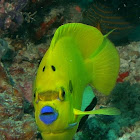 Three Spot Angelfish