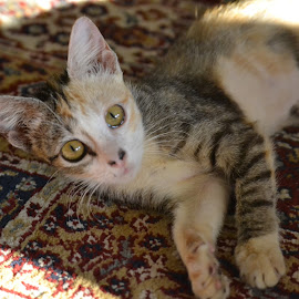 Kitten by Kristin Cosgrove - Novices Only Pets