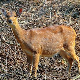 Deer by Asif Bora - Animals Other Mammals