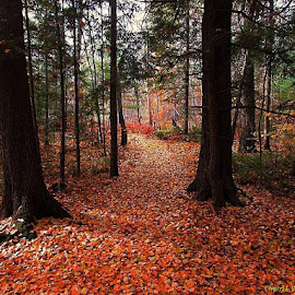 Fall Woods by Cherri Wachter - Landscapes Forests