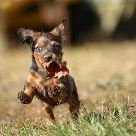 Running Wild by Terri Cox - Animals - Dogs Running ( dachschund, wiener, blue, puppy, dog, running, eyes )