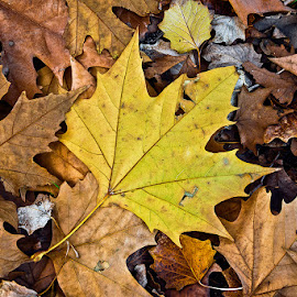 Autumn leaves by Elias Spiliotis - Nature Up Close Leaves & Grasses ( red, warm, nature, season, autumn, colors, brown, yellow, leaves, decay,  )