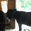 Mule or Donkey?
