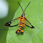Clearwing Persimmon Borer Moth(Female)