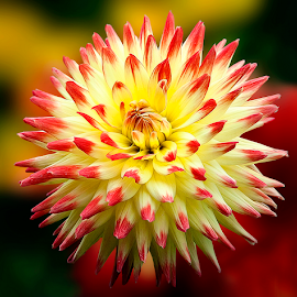 Dahlia by Carl Sieswono Purwanto - Flowers Single Flower