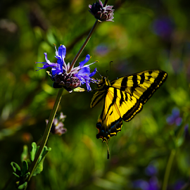 Swallowtail on Blue Flower-1 by Ken Wade - Animals Insects & Spiders ( butterfly, blue, yellow, swallowtail )