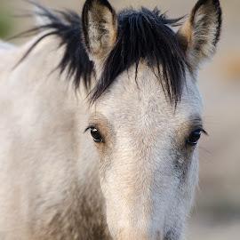 Wild Beauty by Nancy Arehart - Animals Horses ( wild, desert, nevada, horse, white )