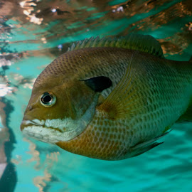 Sunfish by David Gilchrist - Animals Fish ( underwater photo, animal underwater, sunfish, fish, fin )