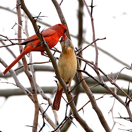 Cardinal love by Dan Ferrin - Animals Birds ( bird, cardinal, nature, wildlife, birds, cardinals )