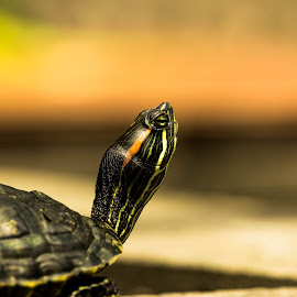 Turtle by Wahyu Pambudi - Animals Amphibians ( water, kura-kura, bulus, indonesia, banyumas, turtle, 100d )