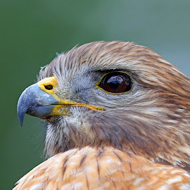 Hawk Profile with Eye Reflection by Anthony Goldman - Animals Birds ( bird, wild, predator, tampa, red shouldered, hawk )