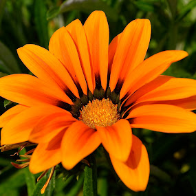 Sunbathing by Ed Hanson - Flowers Single Flower ( orange, nature, green, close-up, flower )