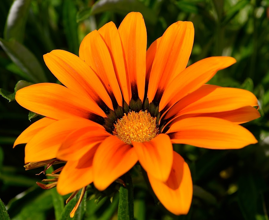Sunbathing by Ed Hanson - Flowers Single Flower ( orange, nature, green, close-up, flower )