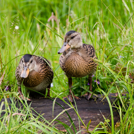 Baby ducks by Jarrod Davidsmeier - Animals Birds ( ducklings, animals, ducks, little, cute, birds,  )